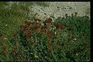 Rhodiola integrifolia