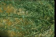 Senecio flaccidus var. douglasii
