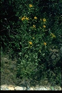 Widehead Groundsel