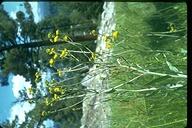 Senecio hydrophilus
