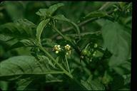Solanum sarrachoides