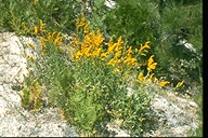 Solidago sp.