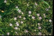 Spergularia atrosperma
