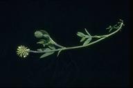 Trifolium eriocephalum ssp. eriocephalum