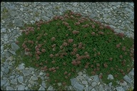 Trifolium wormskioldii