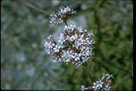 Valeriana sitchensis ssp. scouleri