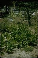 Veratrum californicum var. californicum