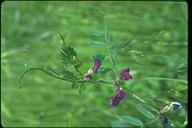 Vicia sativa ssp. sativa