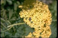 Sambucus nigra ssp. canadensis