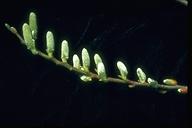 Salix lasiolepis