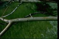 Salix lemmonii