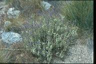 Salvia dorrii