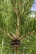 Pinus contorta var. murrayana
