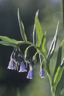 Franciscan Bluebell