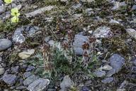 Artemisia borealis