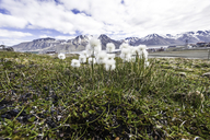 Shealted Cotton-grass