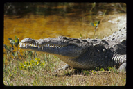 """<strong>Location:</strong> Ding Darling National Wildlife Reserve (Florida, US)<br /><strong>Author:</strong> <a href=""""http://calphotos.berkeley.edu/cgi/photographer_query?where-name_full=Gerald+and+Buff+Corsi&one=T"""">Gerald and Buff Corsi</a>"""