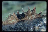 Scorpaena guttata