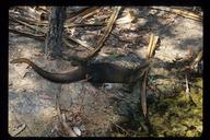 "<strong>Location:</strong> Northern Territory Wildlife Park (Northern Territory, Australia)<br /><strong>Author:</strong> <a href=""http://calphotos.berkeley.edu/cgi/photographer_query?where-name_full=Gerald+and+Buff+Corsi&one=T"">Gerald and Buff Corsi</a>"