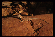 """<strong>Location:</strong> Alice Springs Desert Park (Northern Territory, Australia)<br /><strong>Author:</strong> <a href=""""http://calphotos.berkeley.edu/cgi/photographer_query?where-name_full=Gerald+and+Buff+Corsi&one=T"""">Gerald and Buff Corsi</a>"""