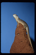 "<strong>Location:</strong> Alice Springs Desert Park (Northern Territory, Australia)<br /><strong>Author:</strong> <a href=""http://calphotos.berkeley.edu/cgi/photographer_query?where-name_full=Gerald+and+Buff+Corsi&one=T"">Gerald and Buff Corsi</a>"