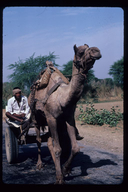 Man and camel, Jaipur, India