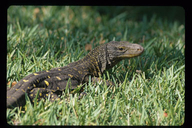 "Crocodile Monitor Lizard (captive)<br /><strong>Location:</strong> Papua New Guinea<br /><strong>Author:</strong> <a href=""http://calphotos.berkeley.edu/cgi/photographer_query?where-name_full=Gerald+and+Buff+Corsi&one=T"">Gerald and Buff Corsi</a>"