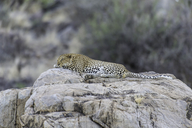 East African Leopard