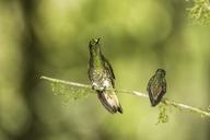 Boissonneaua flavescens