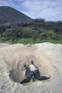 """<strong>Location:</strong> Floreana Island, Galapagos (Ecuador)<br /><strong>Author:</strong> <a href=""""http://calphotos.berkeley.edu/cgi/photographer_query?where-name_full=Gerald+and+Buff+Corsi&one=T"""">Gerald and Buff Corsi</a>"""