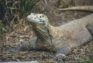 "<strong>Location:</strong> Komodo Island (Indonesia)<br /><strong>Author:</strong> <a href=""http://calphotos.berkeley.edu/cgi/photographer_query?where-name_full=Gerald+and+Buff+Corsi&one=T"">Gerald and Buff Corsi</a>"
