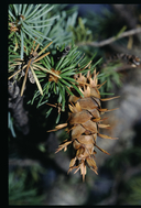 Pseudotsuga menziesii ssp. glauca