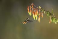 Calliphlox mitchellii