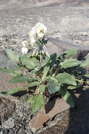 Chylismia claviformis ssp. claviformis