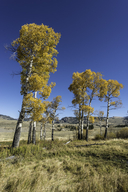 Populus deltoides ssp. monilifera