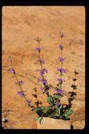 Penstemon humilis ssp. obtusifolius