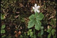 Rubus pedatus