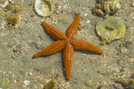Thin-spined Sea Star