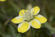 Platystemon californicus