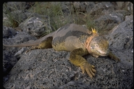 """male<br /><strong>Location:</strong> South Plaza Island, Galapagos Islands (South Plaza Island (Galapagos Islands), Ecuador)<br /><strong>Author:</strong> <a href=""""http://calphotos.berkeley.edu/cgi/photographer_query?where-name_full=Gerald+and+Buff+Corsi&one=T"""">Gerald and Buff Corsi</a>"""