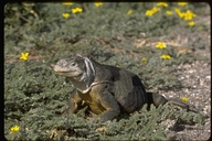"""female<br /><strong>Location:</strong> South Plaza Island, Galapagos Islands (South Plaza Island (Galapagos Islands), Ecuador)<br /><strong>Author:</strong> <a href=""""http://calphotos.berkeley.edu/cgi/photographer_query?where-name_full=Gerald+and+Buff+Corsi&one=T"""">Gerald and Buff Corsi</a>"""