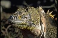 "<strong>Location:</strong> South Plaza Island, Galapagos Islands (South Plaza Island (Galapagos Islands), Ecuador)<br /><strong>Author:</strong> <a href=""http://calphotos.berkeley.edu/cgi/photographer_query?where-name_full=Gerald+and+Buff+Corsi&one=T"">Gerald and Buff Corsi</a>"