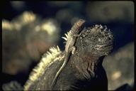 """<strong>Location:</strong> Punta Espinosa, Galapagos Islands (Galapagos Islands, Ecuador)<br /><strong>Author:</strong> <a href=""""http://calphotos.berkeley.edu/cgi/photographer_query?where-name_full=Gerald+and+Buff+Corsi&one=T"""">Gerald and Buff Corsi</a>"""