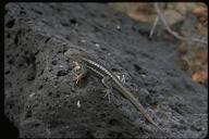 """male<br /><strong>Location:</strong> La Galapaquera, San Cristobal Island, Galapagos Islands (San Cristobal Island (Galapagos Islands), Ecuador)<br /><strong>Author:</strong> <a href=""""http://calphotos.berkeley.edu/cgi/photographer_query?where-name_full=Gerald+and+Buff+Corsi&one=T"""">Gerald and Buff Corsi</a>"""