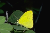 Galapagos Sulfur Butterfly