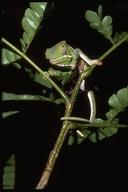 "Female<br /><strong>Location:</strong> Ranomafana National Park (Madagascar)<br /><strong>Author:</strong> <a href=""http://calphotos.berkeley.edu/cgi/photographer_query?where-name_full=Gerald+and+Buff+Corsi&one=T"">Gerald and Buff Corsi</a>"