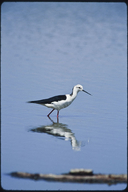 Blach Winged Stilt