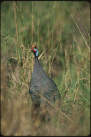 The Helmeted Guineafowl