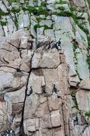 Phalacrocorax pelagicus