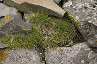 Antarctic Hairgrass